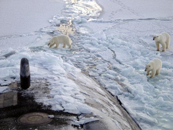 Niedźwiedzie polarne w Arktyce. Fot.: Wikimedia Commons
