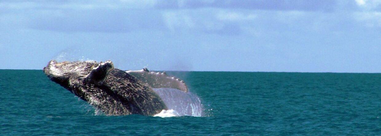 Humbak w Morskim Parku Narodowym Abrolhos. Źródło Wikipedia